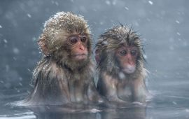 Японы амьтны хүрээлэн 57 сармагчинг цаазалжээ