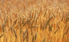 Улсын хэмжээнд ургац хураалтын ажил 73 хувьтай байна