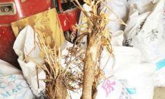 286кг дэрвэгэр жиргэрүү ургамлын үндэс тээвэрлэж явсан этгээдийг илрүүлжээ