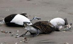 Олон тооны үхсэн шувуудаас гоц халдварт өвчний нян илрээгүй гэв Нийгэм2 цагийн өмнө