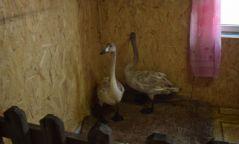 Айлд өвөлжиж байсан хоёр хун шувууг хамгаалалтын захиргааны хашаанд аваачин, асарч эхэллээ
