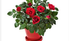 Сарнай цэцэг нь хайр дурлал, нөхөрлөлийн бэлэг тэмдэг