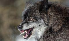 Баянхонгор аймагт галзуу чоно хоёр хүн гэмтээжээ