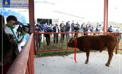 Малын анхны дуудлага худалдаагаар махны чиглэлийн гойд ашиг шимт үхэр , хонийг борлууллаа