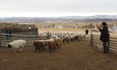 Монгол Улсад урьдчилсан дүнгээр 67.1 сая толгой мал тоологдлоо