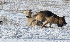 Хан-Уул дүүргийн нутаг дэвсгэрт 8161 зэрлэг нохой, муурыг устгажээ