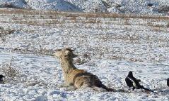 Богд ууланд гөрөөс барьж идэж байсан 32 зэрлэг нохойг устгажээ