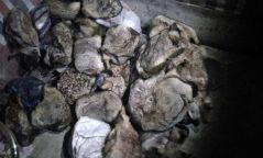 Улаанбаатар хот руу 29 ширхэг хөлдөөсөн тарвага нууцаар оруулахыг завджээ